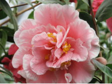 pink & white Camellia japonica blossom.??Copyright Anne K Moore, 2008.