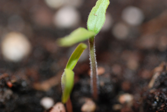 Collard Seedling