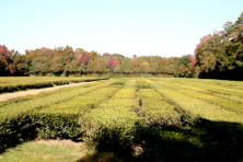 Fields of Tea Camellias (Camellia sinensis) at Charleston Tea Plantation.??Copyright 2010 Anne K Moore
